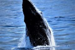 22 Pukkel-hval-stiger-op. Foto: Bo Jensen