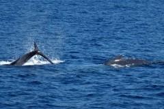 20  Pukkel-hval-stiger-op. Foto: Bo Jensen