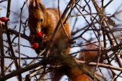 25 Egern-spiser-bær. Foto: Carl Stampe Jochimsen