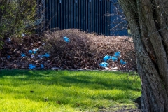 Blå forårsblomster? Nej, henkastede plastikhandsker.  Foto: Lise Peltola