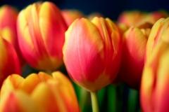 Tulipanerne i min vase. Foto: Lise Peltola