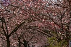 Allé af blomstrende træer ved Torveparken. Foto: Lise Peltola