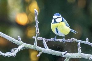 Fuglene i min have