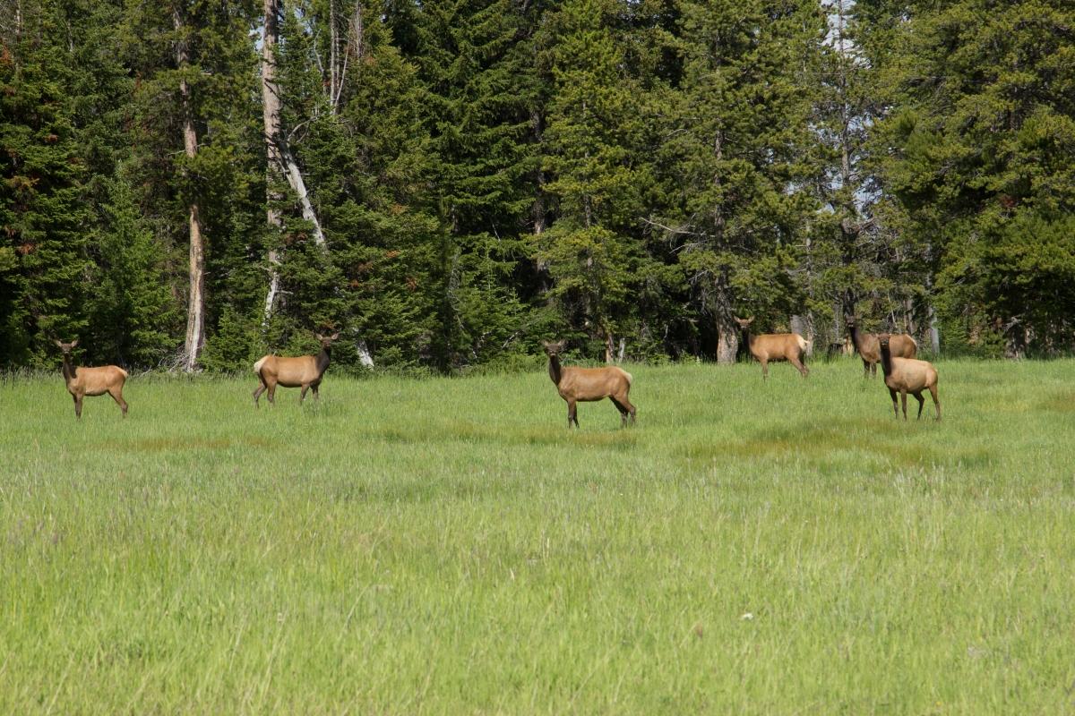 MG_0970-Elks
