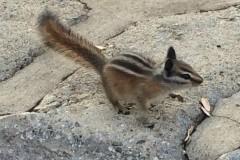 IMG_4064_b-Rock-Creek-Vista-Chipmunk