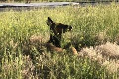 IMG_5444-Gardiner-Elk-in-the-Grass