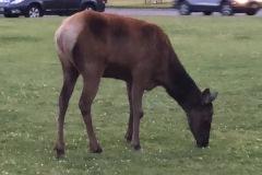 IMG_5469-Mammoth-Hot-Springs-Elk