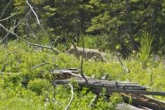 MG_0899-Wolf