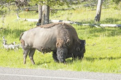 MG_0988-Buffalo