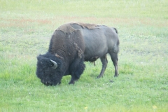 MG_1021-Buffalo