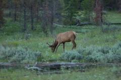 MG_1045-Deer