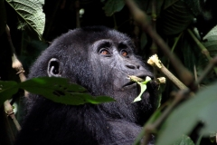 Bjerggorilla. Uganda, Bwindi Impenetrable Forest. Foto: Lise Peltola