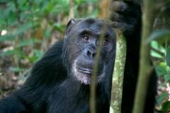Chimpanse. Uganda, Kabale N.P. Foto: Lise Peltola