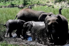 Elefanter. Tanzania, Tarangire. Foto: Lise Peltola