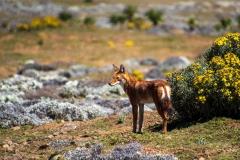 Etiopisk ulv. Etiopien, Bale Bjergene. Foto: Lise Peltola