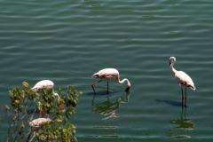 Flamingoer. Lille Flamingo. Tanzania, Arusha N.P. Foto: Lise Peltola
