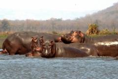 Flodheste. Malawi, Shire. Foto: Lise Peltola
