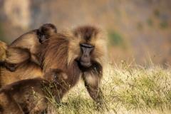 Gelada. Etiopien, Simienbjergene. Foto: Lise Peltola
