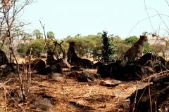 Geparder. Tanzania, Ruaha N.P. Foto: Lise Peltola