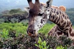 Giraf. Tanzania, Arusha N.P. Foto: Lise Peltola