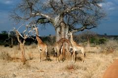 Giraffer. Tanzania, Ruaha N.P. Foto: Lise Peltola