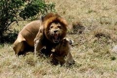 Løver. Kenya, Trans Mare. Foto: Lise Peltola