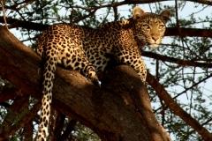 Leopard. Tanzania, Ruaha N.P. Foto: Lise Peltola