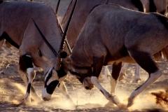 Oryx. Namibia, Gibeon. Foto: Lise Peltola