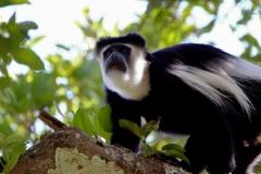 Sort-hvid Colobus. Uganda, Kamwege. Foto: Lise Peltola