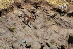 Stenbuk. Etiopien, Simienbjergene. Foto: Lise Peltola