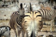 Zebraer. Namibia, Ethosha. Foto: Lise Peltola