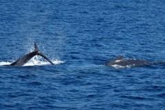 Pukkel-hvaler-iForårs-kådhed-med-mor-og-barn