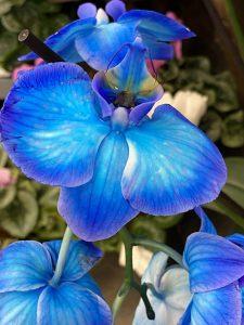 Tak for lederkurset! Her er en blå orkidé...