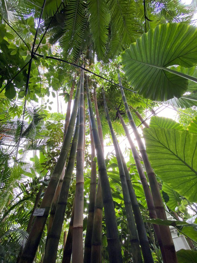Bambus i Palmehuset i Botanisk Have.